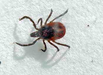 Female tick by Dr Keith Ryan
